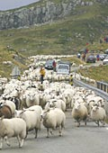 this road for sheep only, today