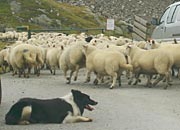 sheepdog in charge