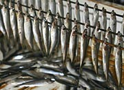 sardines hanging around waiting to be smoked